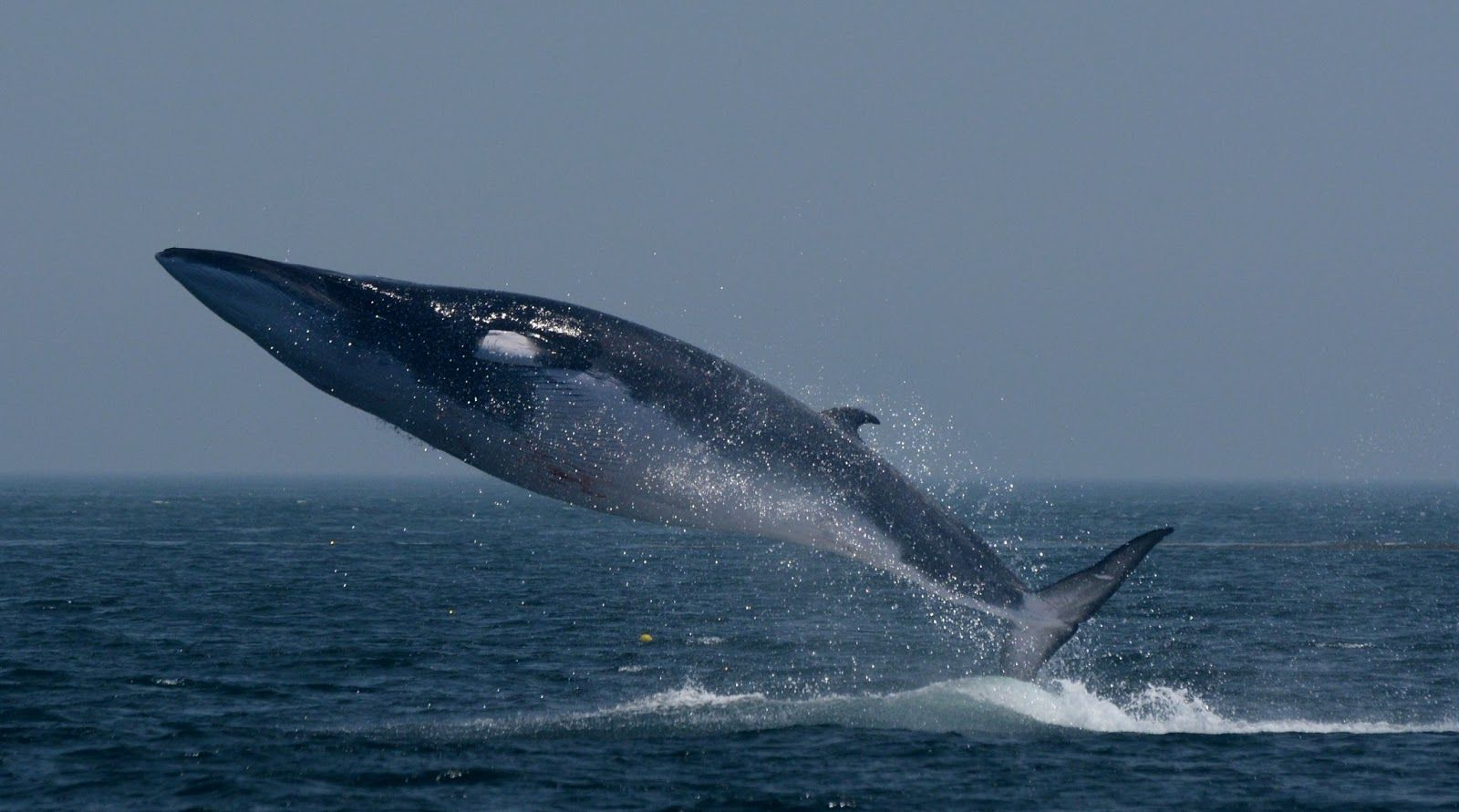 A large finback whale leaping out of the water.
