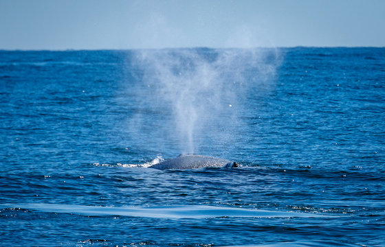A whale on the ocean, spouting